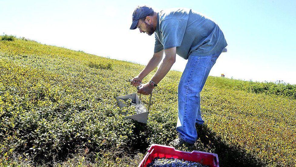 A blueberry picker
