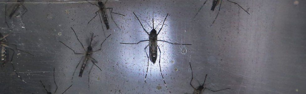 Aedes aegypti mosquitos are seen in a lab at the Fiocruz institute on 26 January 2016