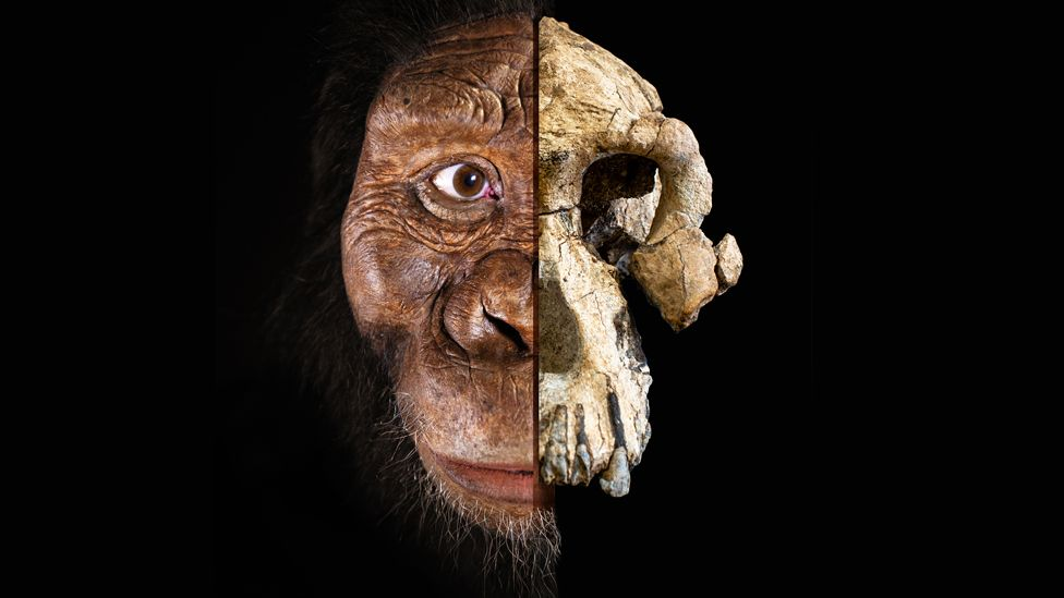 Composite of Australopithecus anamensis skull and face
