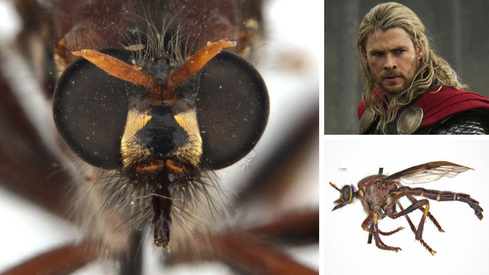 lalat pembunuh bernama Thor