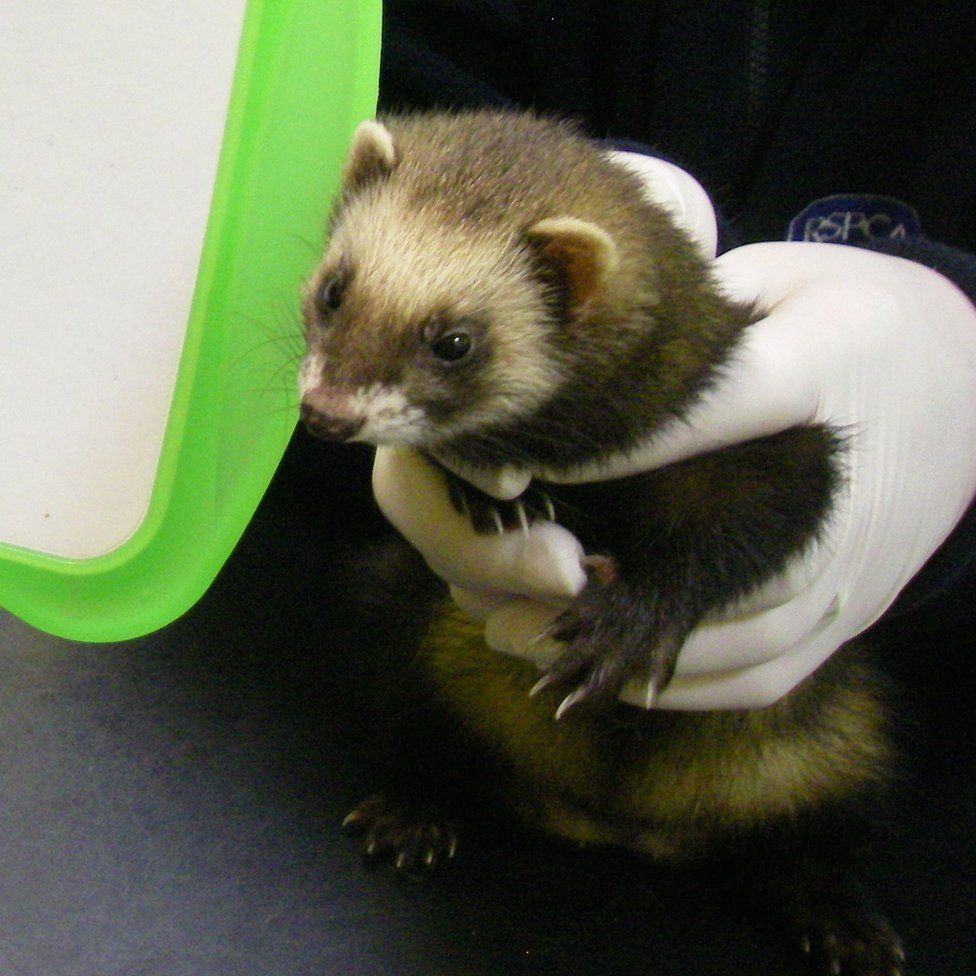 Ferret rescued from house