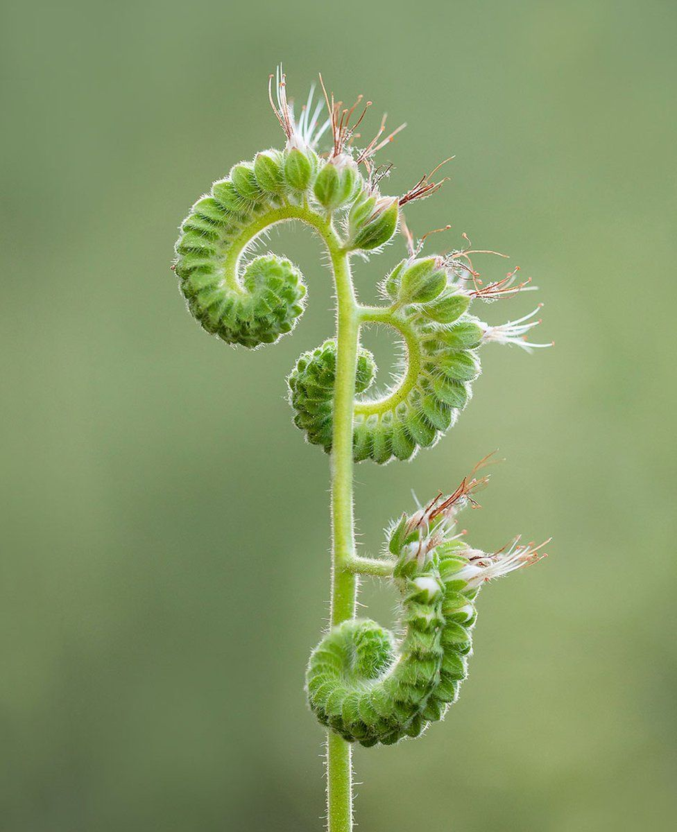 A green stem with buds sprouting white flowers