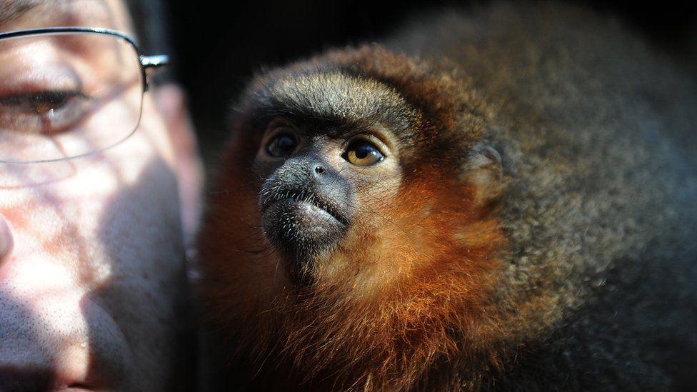 Living titi monkeys are small tree-dwelling monkeys found across tropical South America