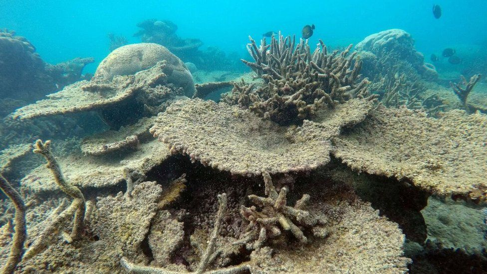 Dead table corals killed by bleaching on Zenith Reef, on the Northern Great Barrier Reef