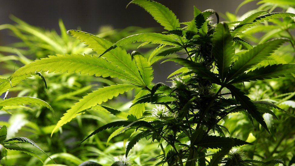A cannabis plant grows in the Amsterdam Cannabis College, a non profit charitable organisation that gives information on cannabis and hemp use