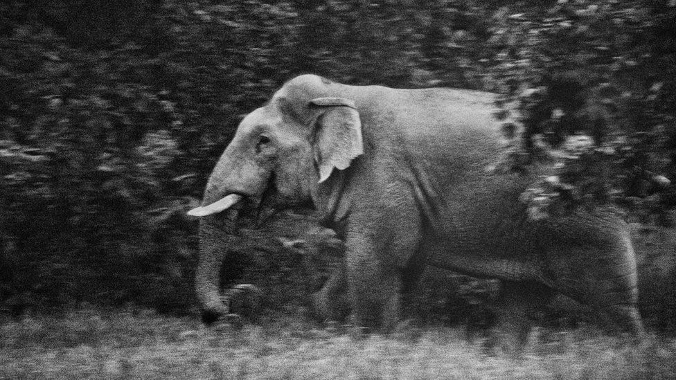 Wild elephant in Chhattisgarh