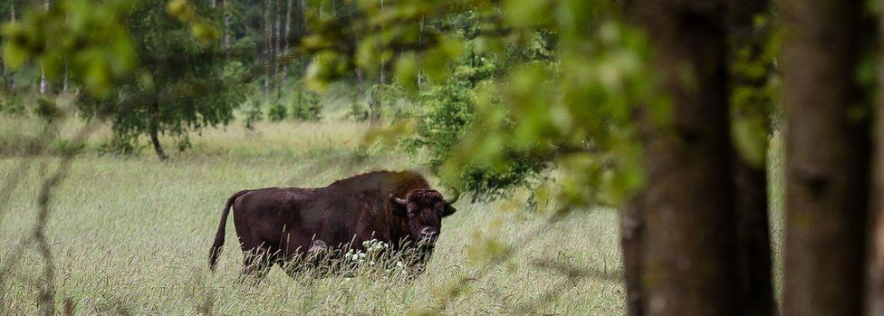 European bison (wisent), the symbol of Bialowieza forest, is pictured in Bialowieza Forest, near Bialowieza