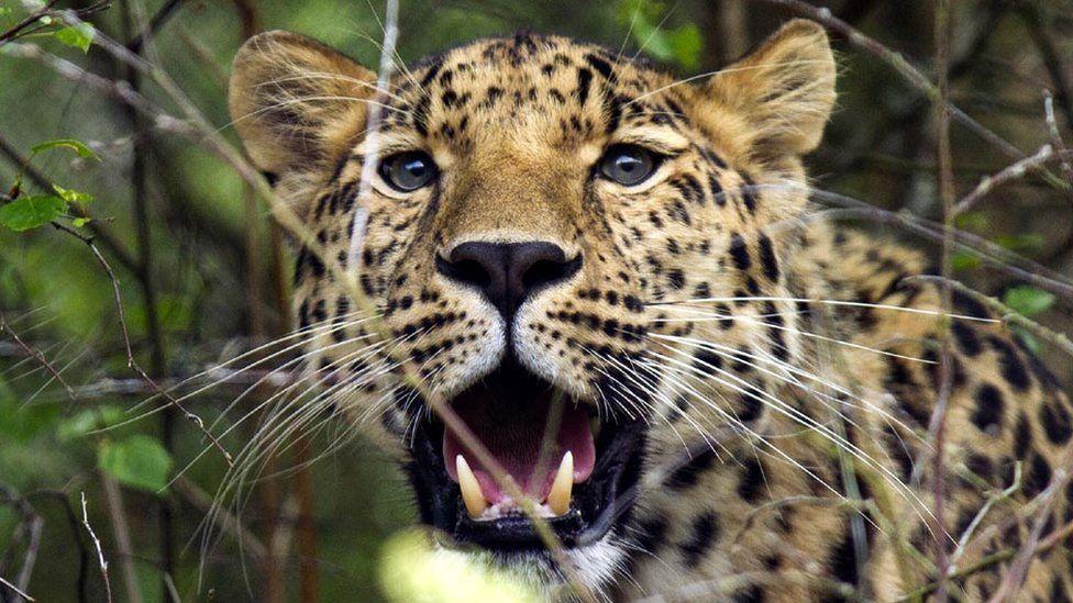 Amur leopard Freddo