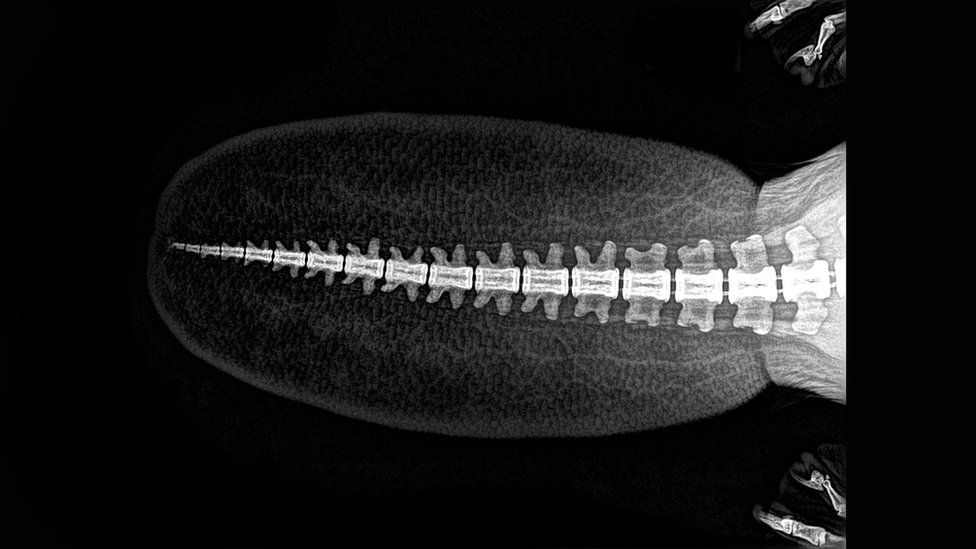 X-ray of beaver's tail