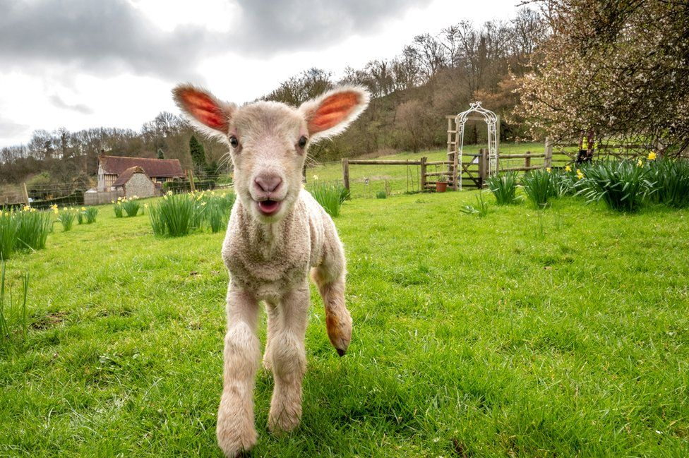 A day-old lamb exploring new surroundings on the vernal equinox, considered the first day of spring, on 20 March 2019 at Coombes Farm in Lancing, England.