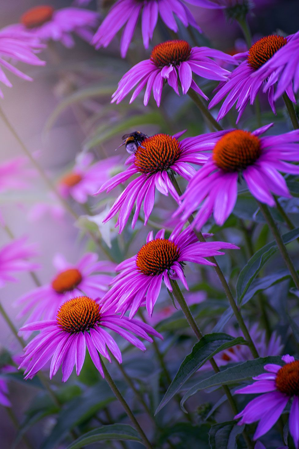 Purple flowers with a bee on one of the flowers
