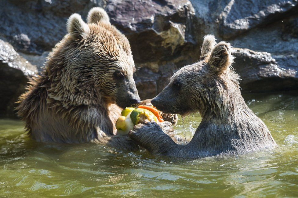 Two bears eat frozen fruit at a zoo in Switzerland