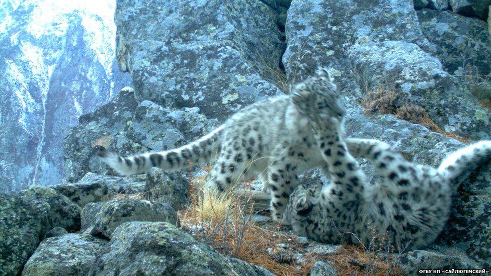 Барсята Виты и Крюка погибли в петлях браконьеров недалеко от фотоловушки Мергена