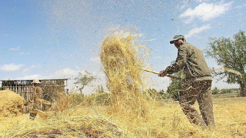 Photo taken on February 20, 2014 shows a farmer winnowing a dried teff crop to separate seeds from stalks at Ada village in Bishoftu town, Oromia region of Ethiopia.