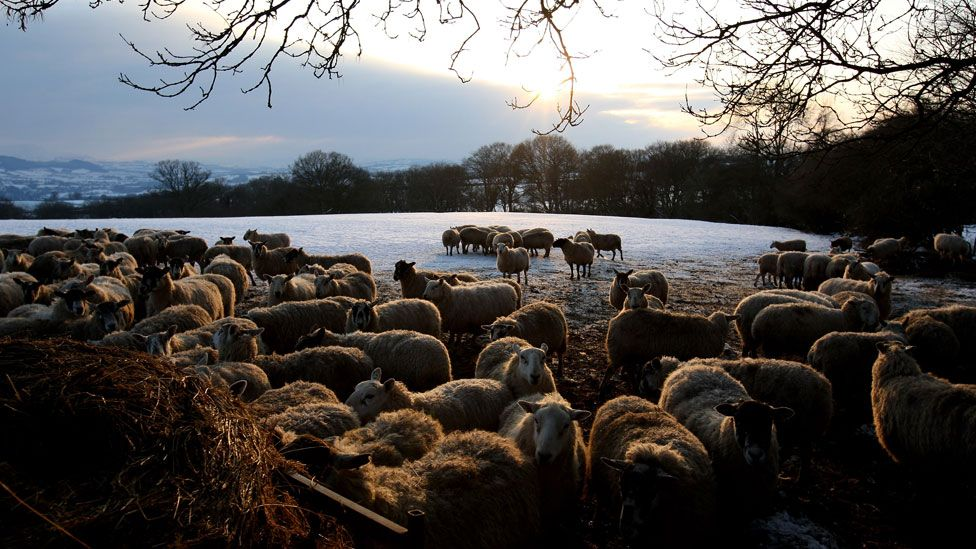 Sheep in Powys
