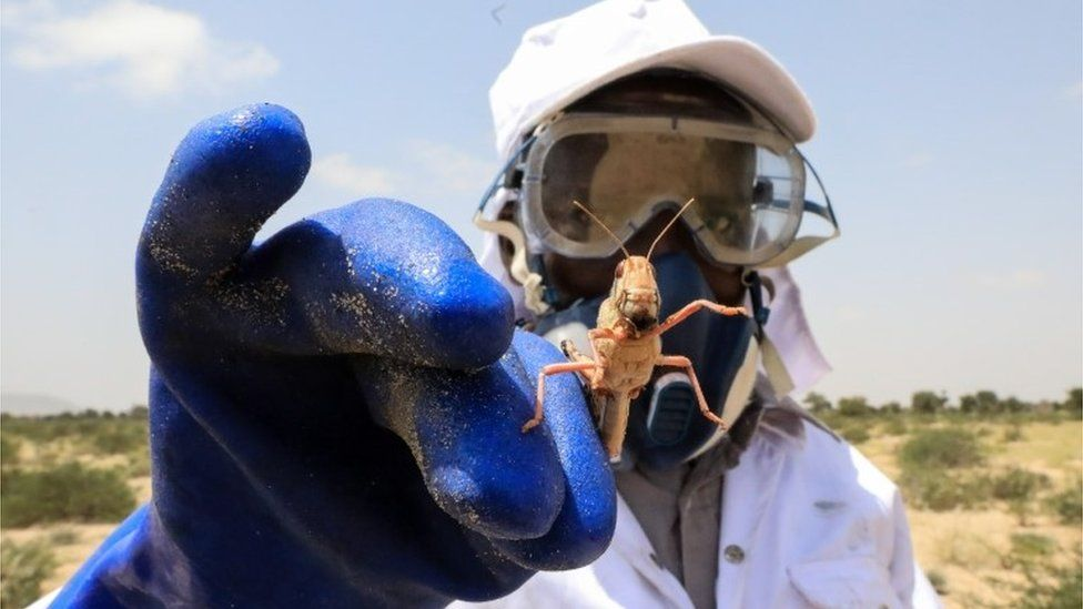 A worker from Somaliland's Ministry of Agriculture holds a desert locust after spraying them with bio-pesticide in one of the breeding grounds for the desert locusts in Geerisa town, Lughaya District, some 350km north east of the capital Hargeisa