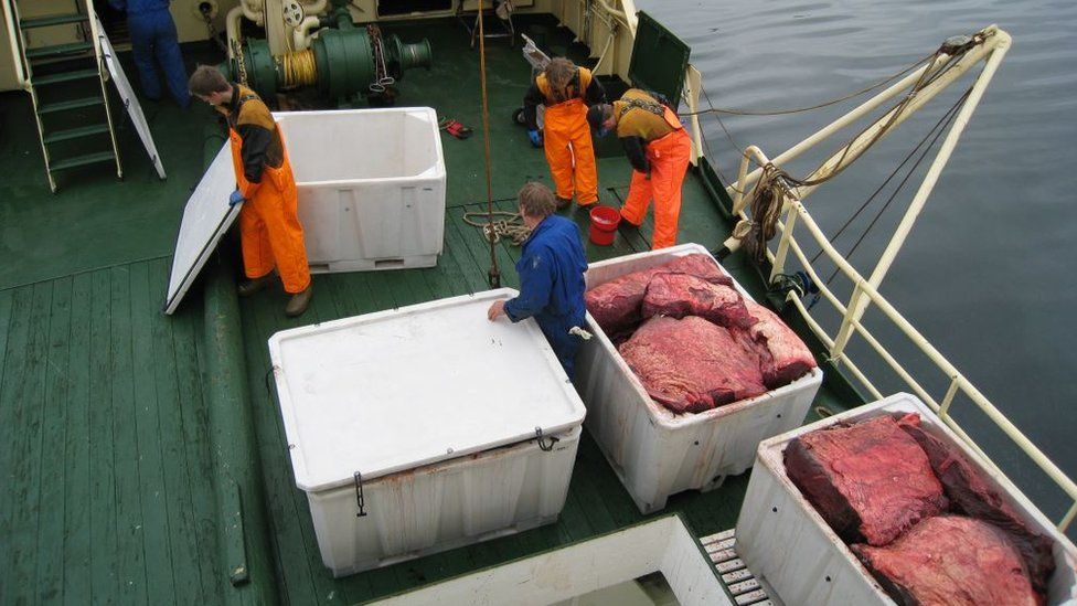 Norwegian whalers boxing up whale meat on their ship