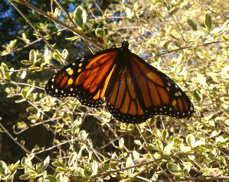 Butterfly with fixed wing on a bush