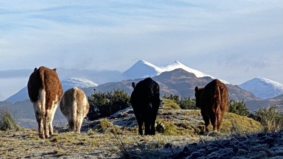 Scottish cows admiring the view of Ben Cruachan in snow