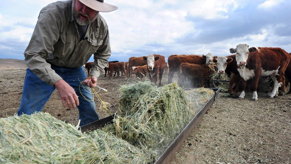 A farmer feeds hay to beef cattle in California