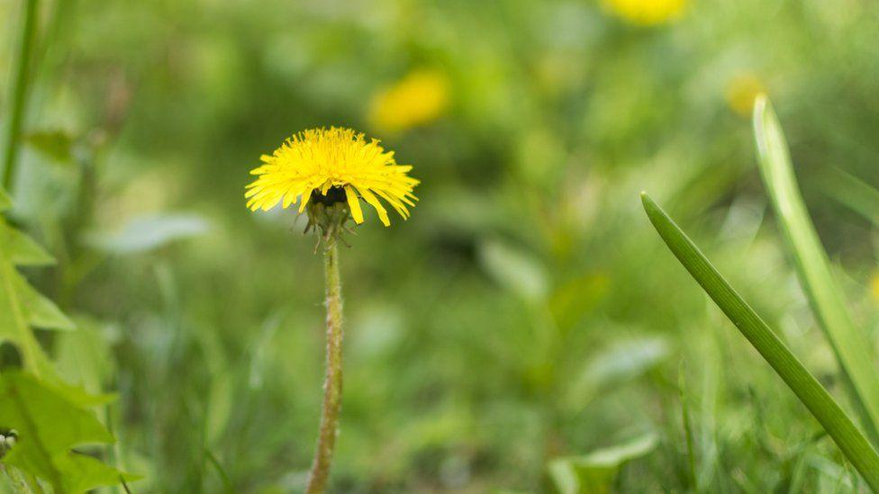 Dandelion in field
