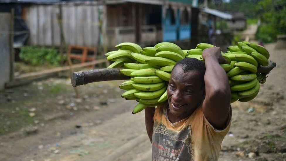 Fusarium R4T, el devastador hongo por el que declaran la primera emergencia nacional en América Latina y que preocupa a la industria del banano