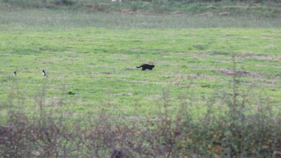 Black cat in east Ayrshire