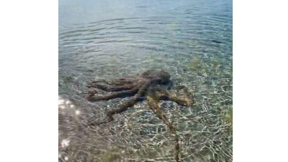 octopus in Australian beach