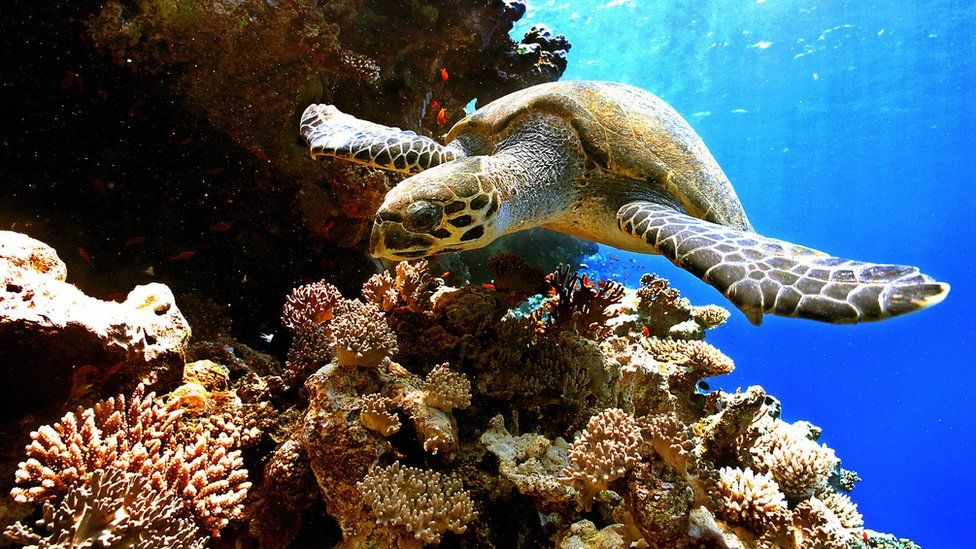 A turtle swimming over a coral reef