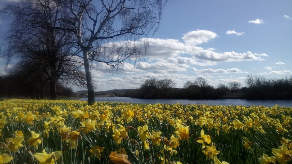 Daffodils waving in the wind at Victoria Embankment by the River Trent in Nottingham