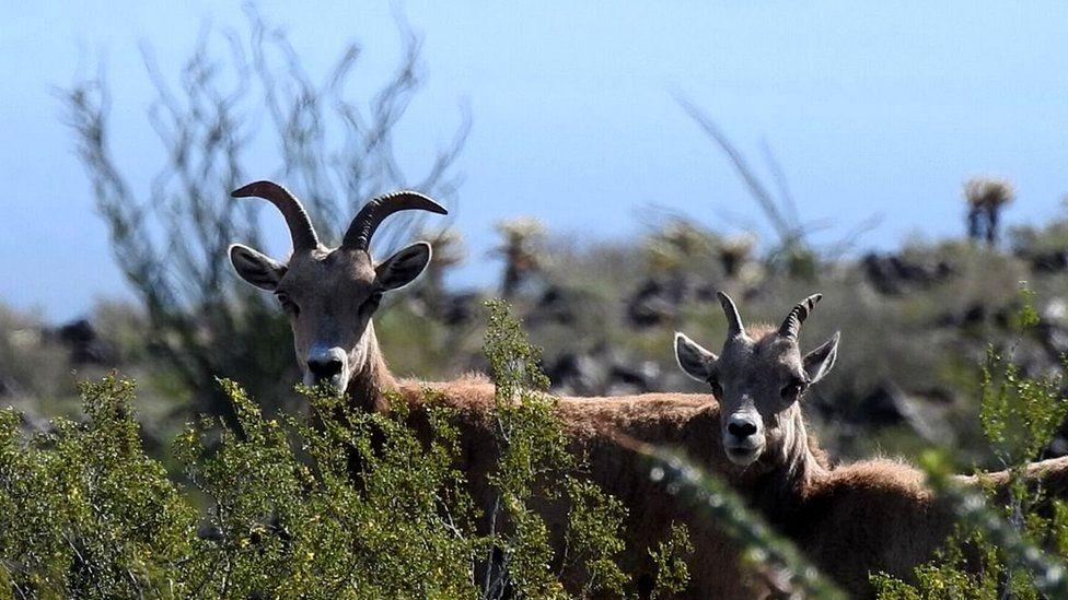 Bighorn sheep (c) Andrew Antaya