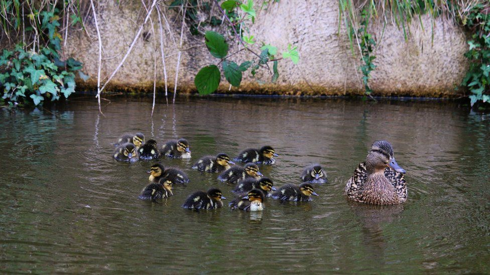 A mother duck and her fourteen ducklings