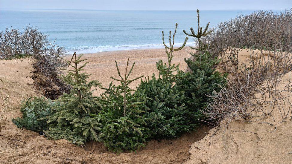Christmas trees on Fistral Beach sand dunes
