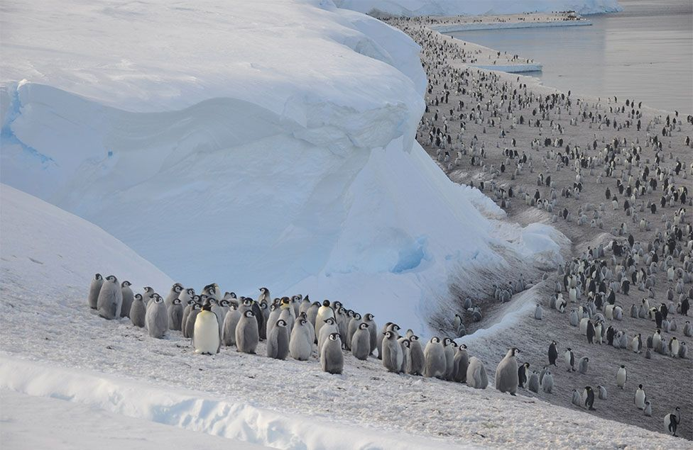 Antarctica: Thousands of emperor penguin chicks wiped out