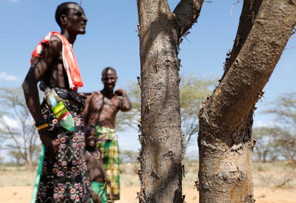 Newly-hatched desert locusts are seen on a tree with people looking on