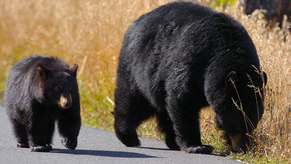 A bear and cub at Yellowstone National Park