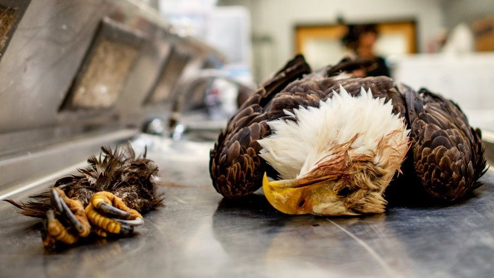 A dead bald eagle with its claws separated