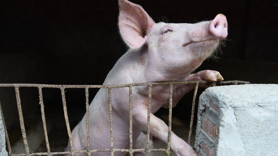 A pig in a hog pen in Linquan county in central China's Anhui province