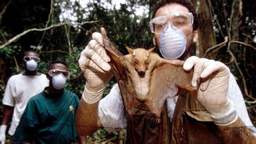 Ebola researcher with a captured megabat