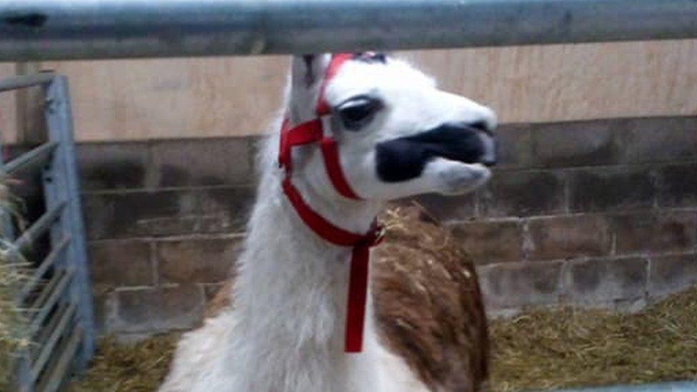 Llama Larry in his pen at Raglan Farm Park in Monmouthshire