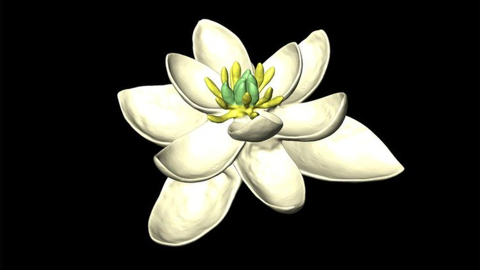 3D model of the ancestral flower reconstructed by the new study, showing multiple whorls of petal-like organs, in sets of threes.
