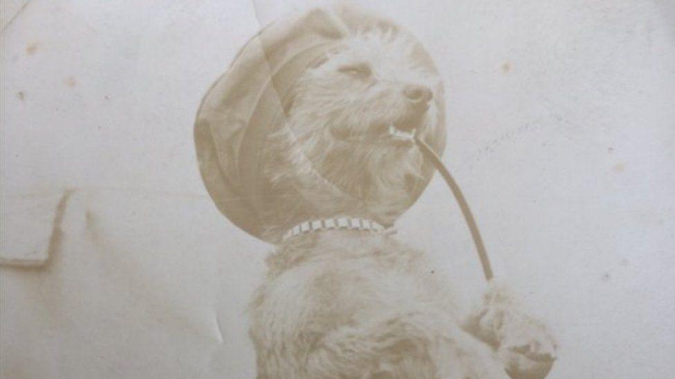 Boer War dog
