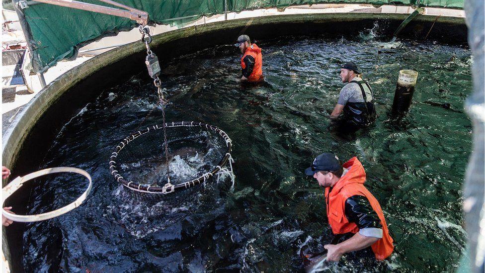 Loading fish at Sterling Caviar