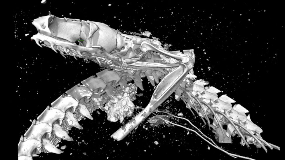 The open-mouthed skull of the Egyptian cobra, as revealed by X-ray microtomography