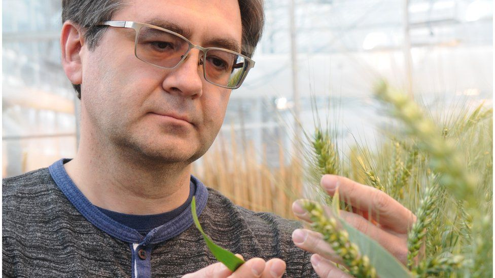 Eduard Akhunov of Kansas State University inspects a wheat plant