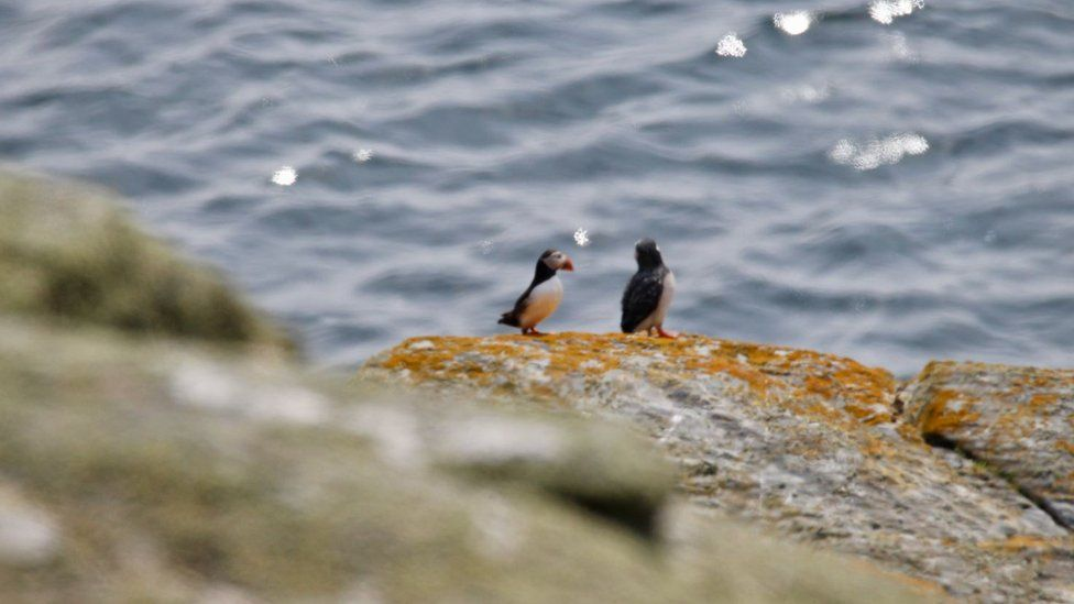Two puffins standing on rocks on the coast of the Calf of Man