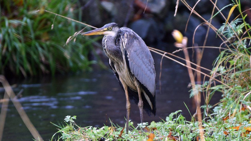 Grey Heron on the banks of the Glen River, Stornoway.