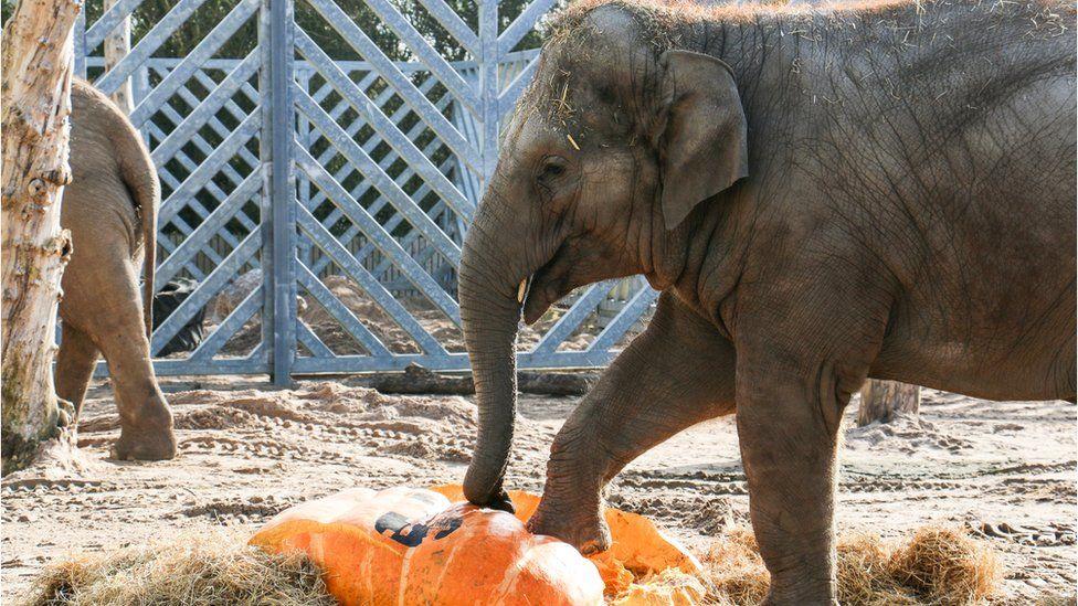 Elephants smash 50 stone pumpkin