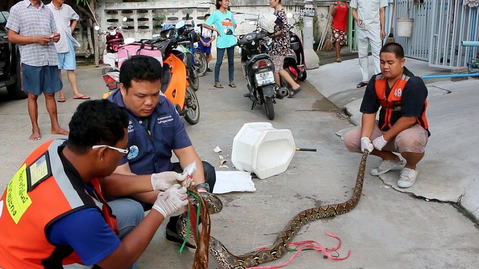 Workers remove python from toilet at house in Chachoengsao, east of the capital Bangkok. 26 May 2016