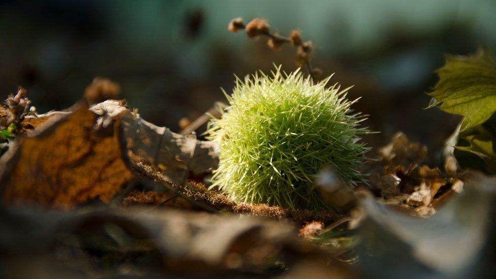 Conker in a park
